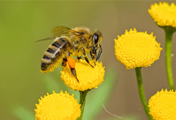 difference guepe abeille